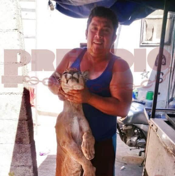Puma cazadores