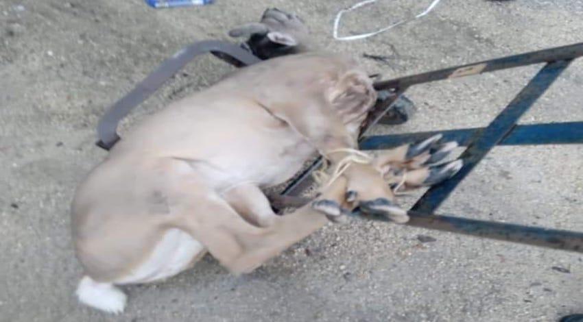 Venado muerto en Yucatán