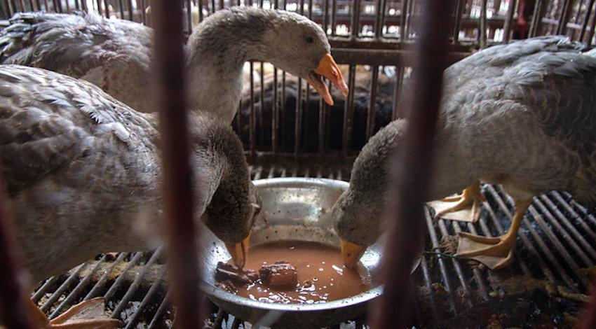Prohibida venta de animales en tianguis de la CDMX  Foto: Igualdad Animal