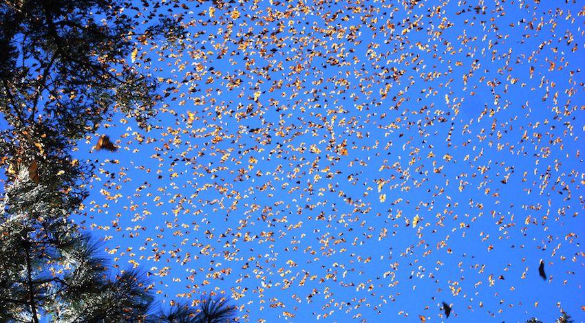 Mariposa Monarca migración