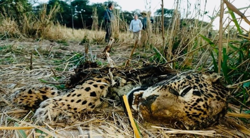 Jaguar Jalisco