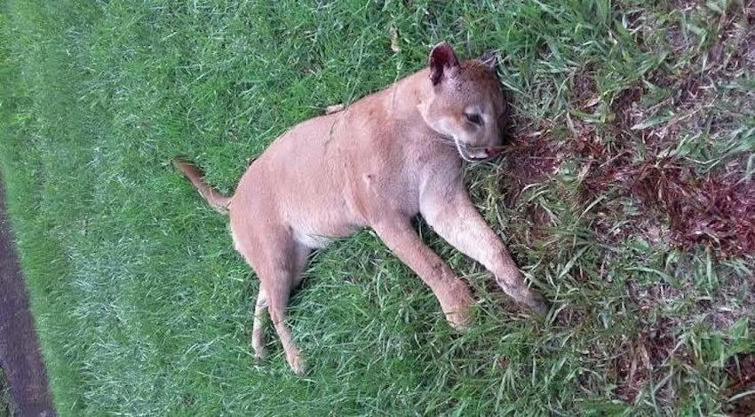 Puma cazadores Yucatán