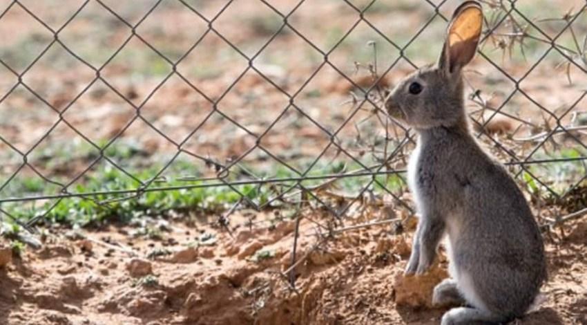 Conejo de Monte