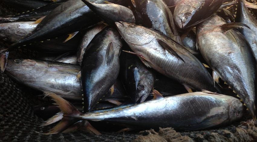 Pesca Túnidos México Foto: Ernesto Méndez