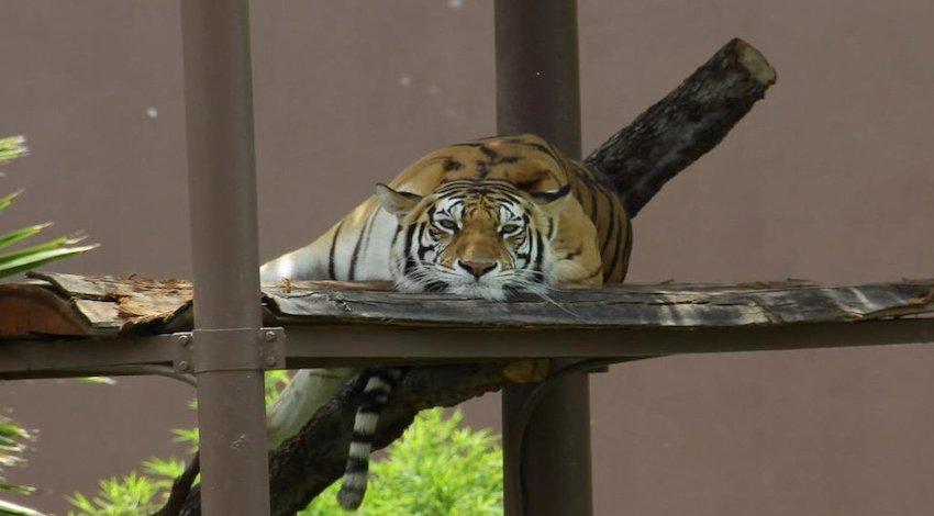 Tigre Zoológico Aragón