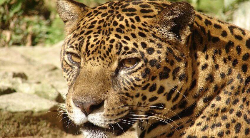 Día del Jaguar