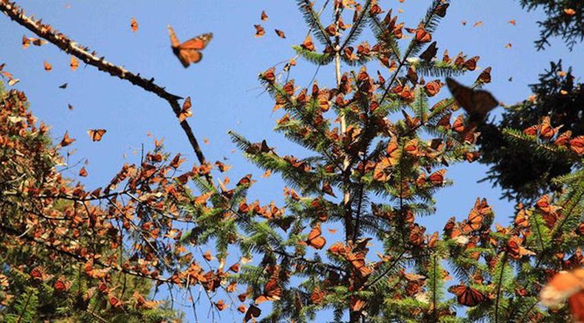 Mariposa Monarca