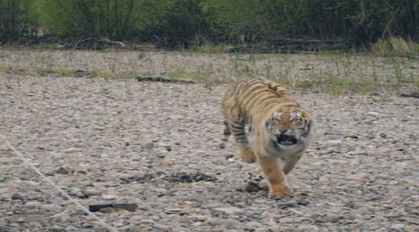 Supuesto tigre en el Desierto de los Leones