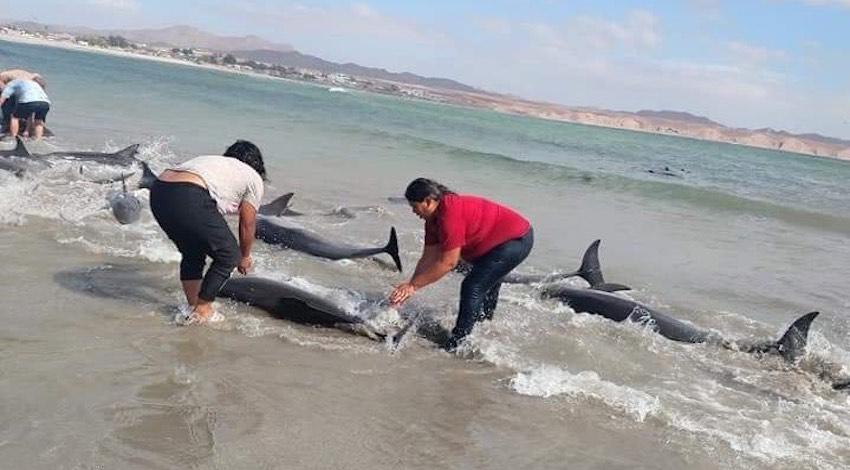 Delfines varados Sonora