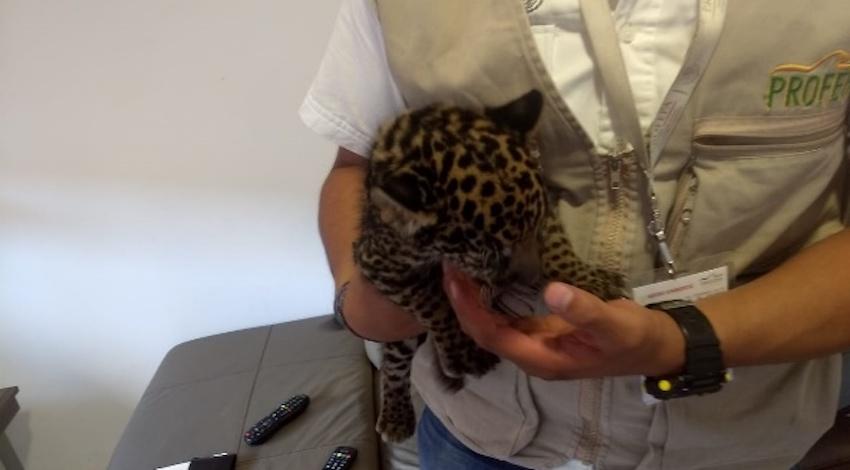 Jaguar Pachuca