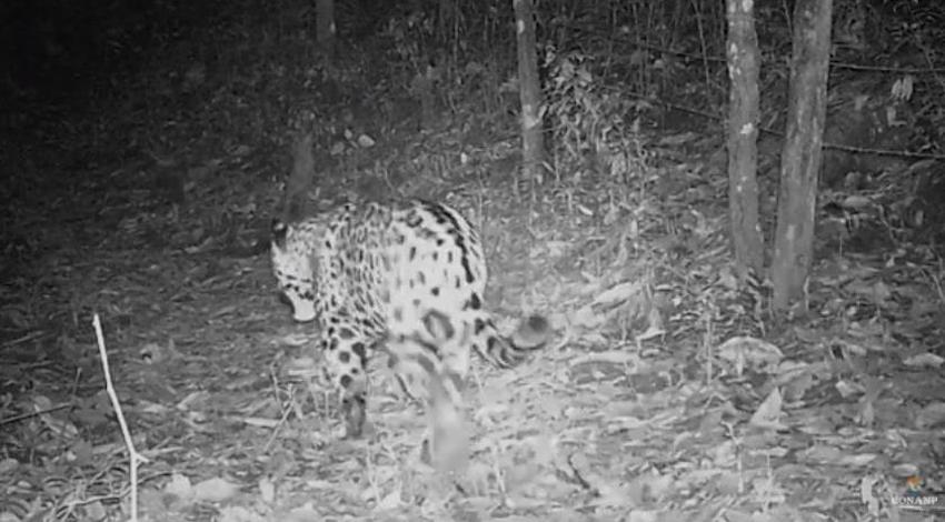 Jaguar Reserva de la Biosfera Sierra de Manantlán