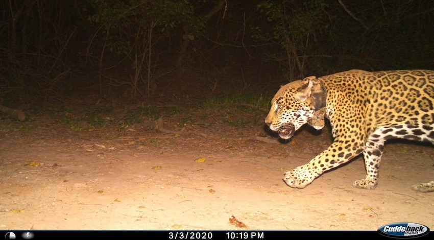 Jaguar Nayarit
