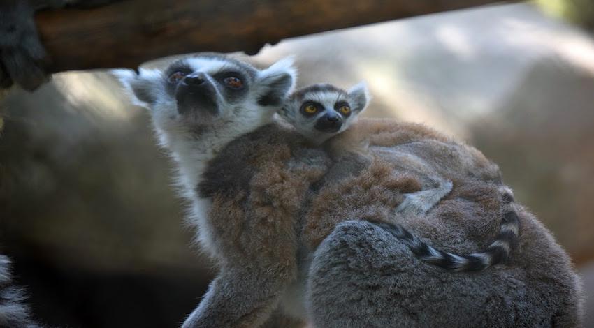 Cría de Lemur