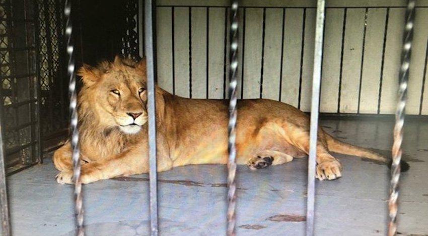 León asegurado en Mexicali