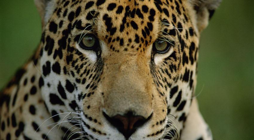 Jaguar Foto: WWF