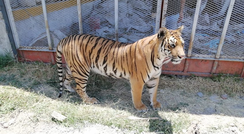 Tigre de Bengala que se paseaba por calles de Jalisco