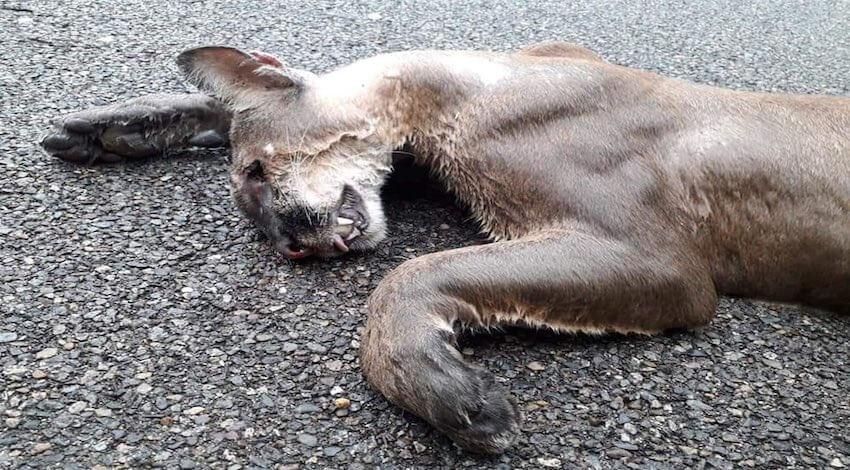 Puma atropellado en Zihuatanejo