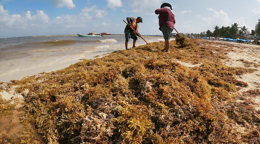 Sargazo Playa del Carmen