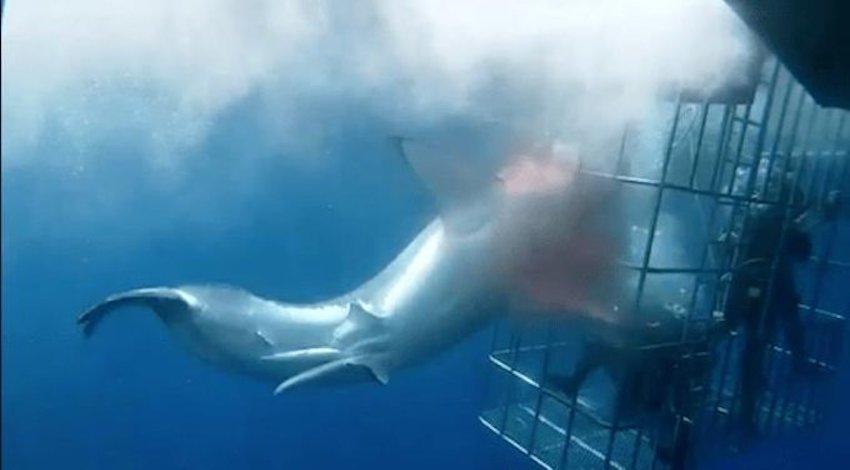 Tiburón Blanco Muerto