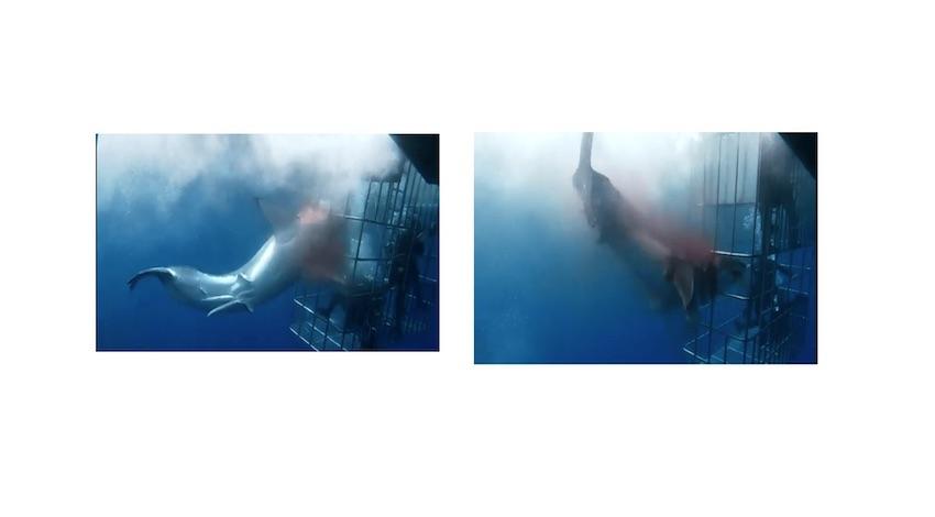 Tiburón Blanco Isla Guadalupe