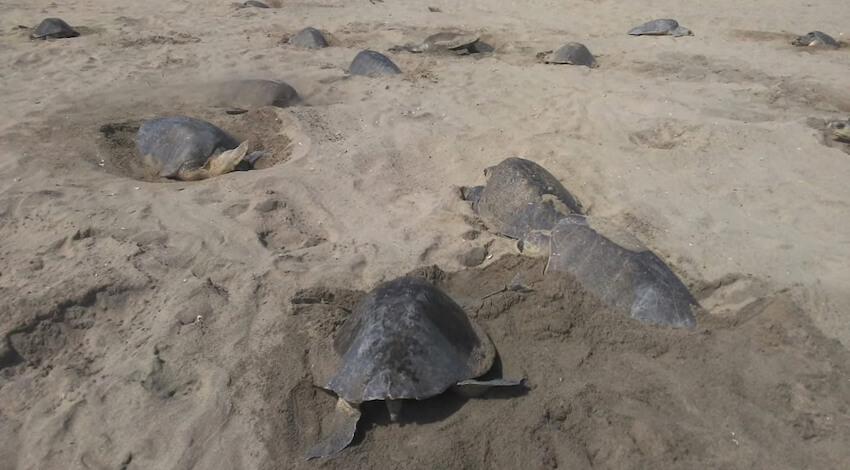 Arribada Tortuga Golfina