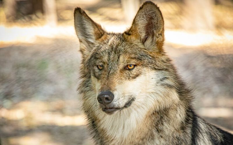 El Lobo Mexicano fue exterminado del medio silvestre a finales de los años 40