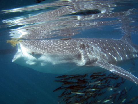 Los tiburones ballenas son filtradores
