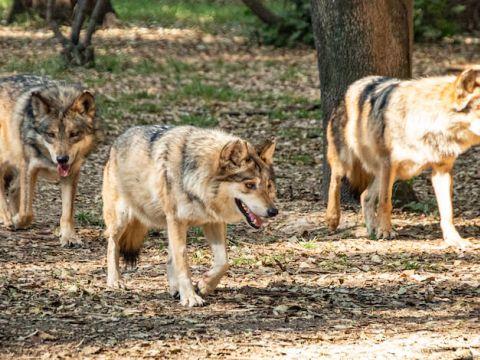 Hasta el momento hay 50 ejemplares de Lobo Mexicano en libertad en la Sierra Madre Occidental