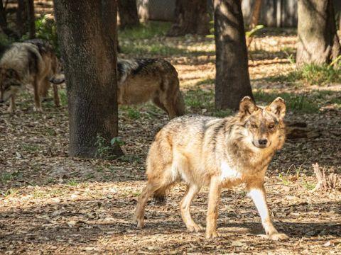 El Lobo Mexicano mide entre 1.3 y 1.8 metros de longitud y entre 60 y 80 centímetros de altura