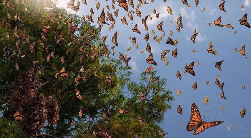 Mariposa Monarca - Ocampo - Michoacán