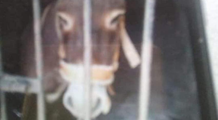 Burro arrestado en Oaxaca