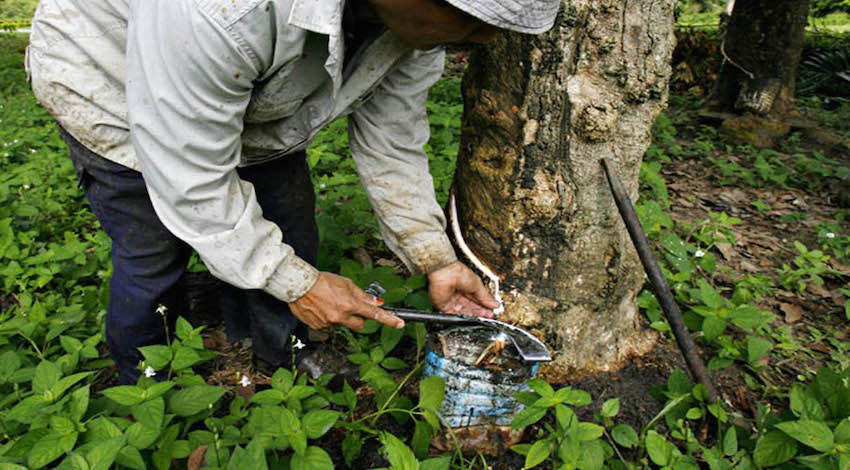 Cultivo Hule Natural