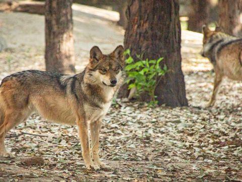 A partir de 2011, la especie fue reintroducida con éxito en México